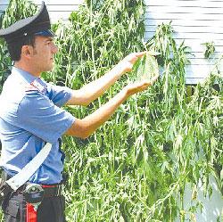 Vico equense piantagione di marijuana in giardino preso for Barba arredamenti vico equense